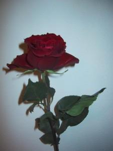 anniversary-rose-225x300
