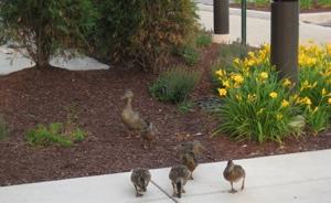 ducks-daffodils-300x184